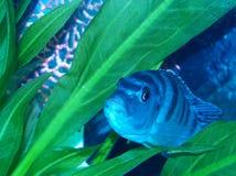 Cichlid grávido de Femal Kenyi foto de stock
