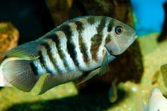 Cichlid i akvarium Arkivbild