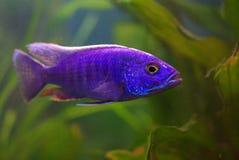 Cichlid im Aquarium lizenzfreie stockfotografie