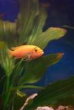 Cichlid im Aquarium lizenzfreies stockbild