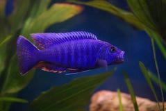 Cichlid im Aquarium stockbild