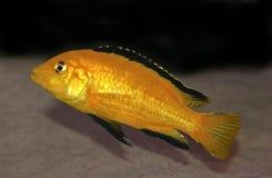 Cichlid jaune coloré du Malawi Images stock