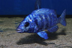 cichlid lupingo phenochilus placidochromis Zdjęcie Royalty Free