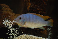 Cichlid from Malawi Royalty Free Stock Photo