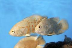 cichlid oscar för 700061 albino Royaltyfri Bild