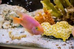 Cichlid rouge de perroquet Photos stock