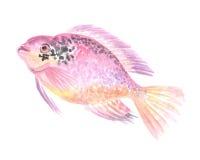 Cichlid rouge de perroquet image libre de droits