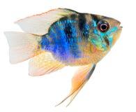 Cichlid ryba Obrazy Stock
