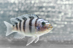 Cichlid ryba Zdjęcie Royalty Free