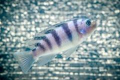 Cichlid ryba Fotografia Royalty Free