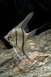Cichlid ryba od genus Pterophyllum Fotografia Stock