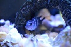 Cichlid ryba w akwarium Naukowy imi?: Pseudotropheus Demasoni fotografia stock