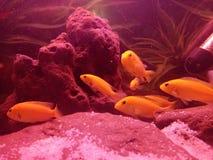 Cichlid& x27; s ryba Obraz Stock