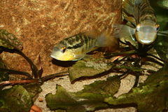 Cichlid (spec. di Bujurquina.) Fotografie Stock
