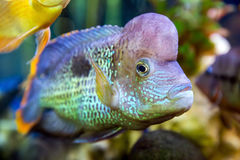 Cichlid swimming in the aquarium Stock Image