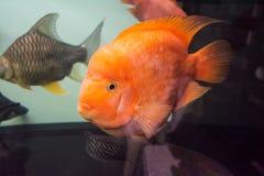 Cichlid tropical d'orange de poissons Photo stock