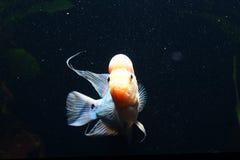 Cichlidae foto de stock