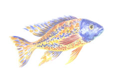 Cichlidae africana azul amarela Fotos de Stock Royalty Free