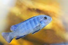Cichlidae Africane de Mbuna Fotografia de Stock