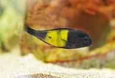 Cichlidae Africane de Mbuna Fotos de Stock Royalty Free