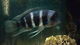 Cichlidae black Stock Photography