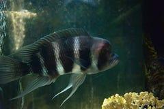 Cichlidae black Royalty Free Stock Photo