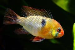 Cichlidae da borboleta do anão Foto de Stock Royalty Free