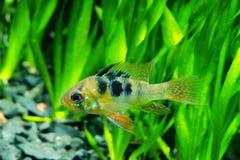 Cichlidae da borboleta do anão Imagem de Stock Royalty Free