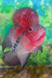 Cichlidae de Flowerhorn Fotografia de Stock Royalty Free