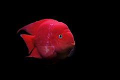 Cichlidae de Flowerhorn ou peixes do cichlasoma Fotos de Stock
