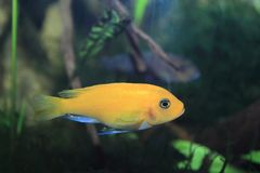 Cichlidae de Lombardoi foto de stock royalty free