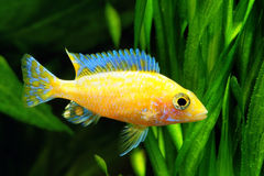 Cichlidae de Malawi do africano Fotos de Stock Royalty Free