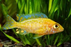 Cichlidae de Malawi do africano Fotografia de Stock