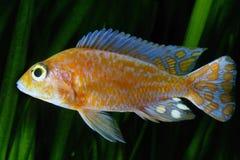 Cichlidae de Malawi do africano Foto de Stock