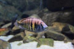 Cichlidae de Nyererei Imagens de Stock