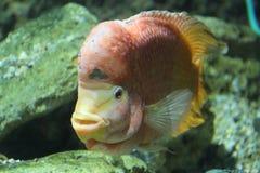 Cichlidae del corno del fiore sopra all'acquario Fotografia Stock Libera da Diritti