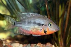 Cichlidae di Firemouth (meeki di Thorichthys) Fotografie Stock Libere da Diritti