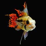 Cichlidae do anão da cacatua Fotografia de Stock Royalty Free
