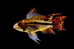 Cichlidae do anão do Cockatoo Imagens de Stock Royalty Free