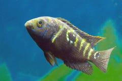Cichlidae dos peixes do aquário fotografia de stock royalty free