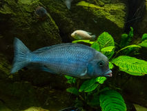 Cichlidae tropical fish Royalty Free Stock Photography