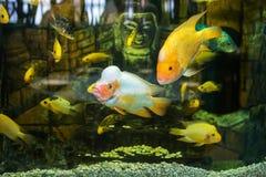 Cichlidaes dos peixes do aquário fotos de stock royalty free