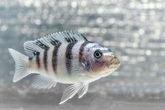Cichlidfische Lizenzfreies Stockfoto