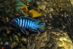 Cichlidfische im Aquarium Stockbilder