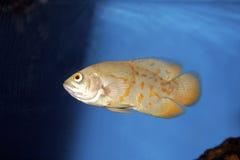 cichlidoscar för 700064 albino tiger Arkivfoto