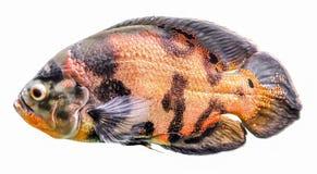 Cichlids рыб аквариума, голубое acara Пресноводное изолированное тропическое Стоковая Фотография