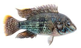 Cichlids рыб аквариума, голубое acara Пресноводные тропические изолированные рыбы, синь akara Стоковое фото RF