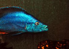 Cichlids Royalty Free Stock Photo