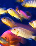 Cichlids Stock Photography