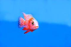 Cichlids Lizenzfreies Stockfoto